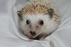 African Pygmy hedgehog licking his lips
