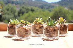 Succulents in votives for wedding centerpieces and weddingfavors