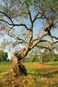 old olive tree at an olive plantation near Lecce, Puglia, southern Italy | Petr Svarc Images