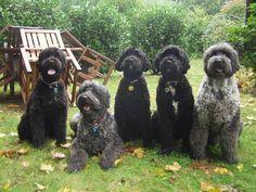 Five Portuguese Water Dogs