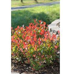 Photinia (Photinia Fraseri Little Red Robin)