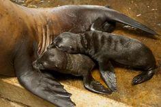 SeaWorld Orlando welcomes first twin sea lion pups!
