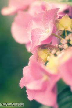 Hortensie - Hydrangea (c) by Jennifer Vahlbruch