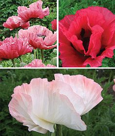 Super Poppy collection
