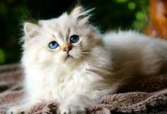Image result for british longhair tabby point