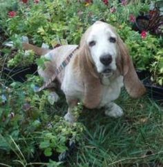 #MARYLAND #BondedPair ~ GILROY is an #adoptable #Basset #Hound #Dog in #Bivalve. My name is GILROY-brother to BASCOM. We weigh in at about 60 lbs. Our story is a sad one. We were found all tattered and torn trotting down a DE. highway.No collars, microchips- just some untraceable ear tattoos. We're appx 8-9y/o ... the age of many HR hounds is usually  best guess ~ anyways ~ we need a loving home ~ & well we'd like to stay together ~ HOMEWOODS RESCUE For the Wayward Hound mhcrowdes@aol.com