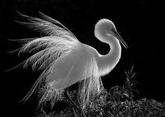 egret : by kathy urbach