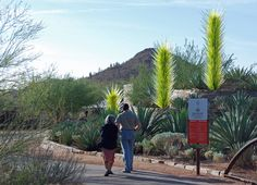The Desert Botanical Garden in Phoenix hosts an exhibition of Dale Chihuly's works of art in glass