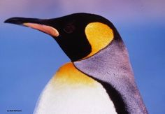 Small charity, Big Porpoise: Protecting the Ocean Mammals of the Pacific Northwest Penguin World, Penguin Day, King Penguin, Emperor Penguin, Pet Recycling, Water Animals, Sea Birds, Sea Creatures, Pacific Northwest