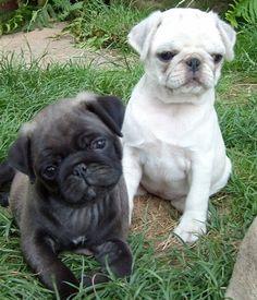 Silver & White Pug Puppies