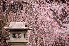 立本寺(りゅうほんじ) 桜 京都の華やかな桜の穴場