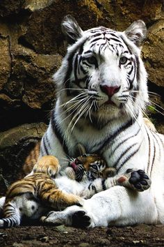 White Tiger e seu filhote