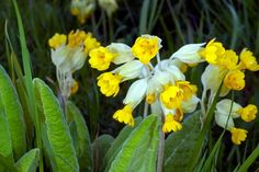 Примула весенняя (Primula veris)