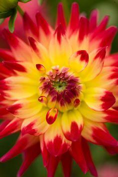 ~~ Dahlia 'Wildcat' (Semi Cactus) ~~