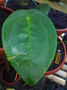 Anthurium peltigerum #plantwishlist