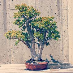 Bonsai of Jade Tree, Crassula argentea, at North Carolina Arboretum. #bonsai #gardening #ncarboretum