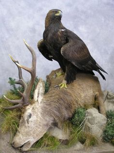 Eagle Taxidermy - Carl Church Taxidermist Golden Eagle Aquila - Bald Eagle - Crowned Eagle Stephanoaetus and Steller's Sea Eagle Steller's Sea Eagle, Bird Taxidermy, Golden Eyes, Golden Eagle, Exotic Birds, Birds Of Prey, Raptors, Eagles, Bald Eagle