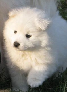 American Eskimo Dog Miniature Dog Breed Pictures, Images and Information