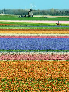 "[Tulips in] ""Holland,"" by A - Photography, via Flickr"