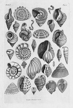 Image result for vintage seashell illustration story