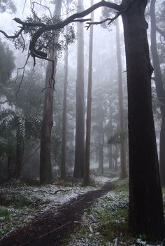 Sherbrooke Forest by Penny Whetton Forest Path, Tree Forest, Dark Forest, Misty Forest, Paper Birds, Beautiful Images, Photo Art, Scenery, Landscape