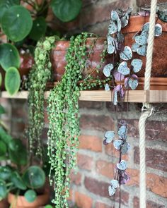 3 hanging plants so beautiful, right? #stringofhearts #stringofpearls #VariegatedStringofHearts #trailing