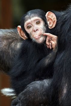 Pensive Little Chimpanzee