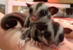 Sugars Girls is an adoptable Sugar Glider Sugar Glider in Layton, UT. We have got an over run on female standard gray gliders ranging in ages of 2 weeks out of pouch some still in pouch to 2 year old ...