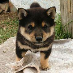 And Now, Ridiculously Adorable Shiba Inu Puppies! Best Puppies, Cute Puppies, Cute Dogs, Dogs And Puppies, Doggies, Animals And Pets, Funny Animals, Cute Animals, Shiba Inu