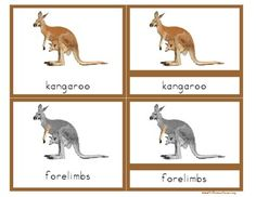 This is a traditional set of Montessori nomenclature cards for the Parts of a Kangaroo. Definitions& of the different external parts of the kangaroo are included. Use these cards as a simple matching and vocabulary development activity with your Montessori Materials, Montessori Activities, Reading Activities, Kindergarten Activities, Science Activities, Continents Activities, Montessori Elementary, Montessori Classroom, Preschool Ideas