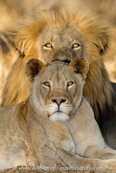 A lovely Lion couple. Lion Images, Lion Pictures, Animals Images, Images Of Lions, Beautiful Cats, Animals Beautiful, Big Cats, Cats And Kittens, Baby Animals