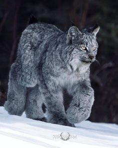 A wintertime Canadian (Boreal) Lynx. look at the built-in snowshoes! – Anna Glin A wintertime Canadian (Boreal) Lynx. look at the built-in snowshoes! A wintertime Canadian (Boreal) Lynx. look at the built-in snowshoes! Like Animals, Animals And Pets, Funny Animals, Animals In Snow, Fun Facts About Animals, Animal Jokes, Animal Facts, Animal 2, Nature Animals