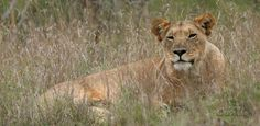 Lions, lions everywhere!!  Yesterday was a day for lions with a total of 13 different lion sightings! We saw lions with a kill, cubs relaxing with their mothers, males territorial roaring, a courting pair and lions attempting to hunt.