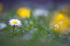 Simply daisy by Alberto Baruffi on 500px