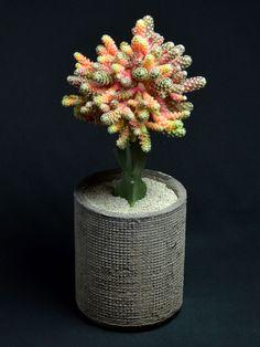 Mammillaria saboae v. Succulents In Containers, Cacti And Succulents, Planting Succulents, Cactus Plants, Planting Flowers, Weird Plants, Cool Plants, Grafted Cactus, Succulent Bonsai