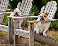 Photograph   Bull Dogs Relaxing at the Beach by BillSwindamanPhoto