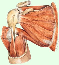 Rotator cuff strength or scapular stability…What comes first? Hand Therapy, Massage Therapy, Physical Therapy, Occupational Therapy, Shoulder Rehab, Shoulder Problem, Shoulder Surgery, Shoulder Anatomy, Body Diagram