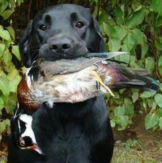 Black Labrador Retriever Puppies | Pennsylvania English Labrador Retriever Breeders
