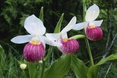 How to Grow a Showy Lady's Slipper Orchid | Home Guides | SF Gate