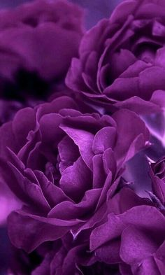 about | purple roses and purple