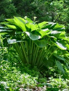 Emperess Wu Hosta! 4 feet tall! I have these, very tall