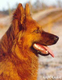 Unique Dog Breeds, Rare Dog Breeds, Popular Dog Breeds, Border Collie Mix, Herding Dogs, Types Of Work, Rough Collie, Sheltie, German Shepherd Dogs