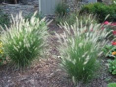 Fountain Grass is a clump-forming perennial grass with arching linear leaves and cylindrical panicles of bristly, purple-tinged spikelets in late summer. Grow in a light, moderately moist but well-drained soil. Grows to under full sun positions. Tropical Landscaping, Landscaping With Rocks, Front Yard Landscaping, Landscaping Ideas, Backyard Patio, Backyard Ideas, Garden Ideas, Dwarf Plants, Gardens