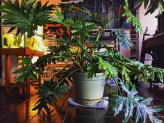 Our 17 year old house plant lives for music by House Plants, Music, Instagram Posts, Life, Musica, Musik, Foliage Plants, Muziek, Houseplants