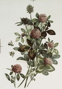 bees & red clover. late 1800's. O. E. Whitney