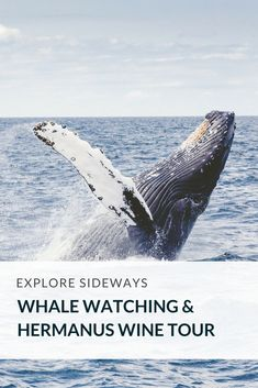 Spot the majestic Southern Right whale on the Whale Route and taste world class wine in the renowned Hermanus region. #whalewatchin #Travel #SouthAfrica #WineTour
