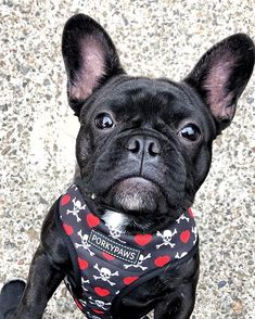 Bad Boy Onny . This boy is filling out beautifully. Such a scrumptious little man. . Hes 8 months in June! Time flies . . . French Bulldog ❤️ . . . . . #porkypaws #frenchbulldog #frenchbulldoglife #frenchie1 #frebchbulldogsofinstagram #frenchbulldog_feature #frenchbulldogworld