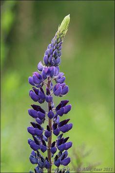 Oregon Flora Project - online at http://www.oregonflora.org/