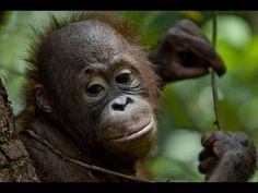 EXPOSED: Procter & Gamble's HIDDEN orangutan legacy (Greenpeace) - video - Procter & Gamble is buying palm oil from companies that are destroying the forest home of orangutans, elephants and tigers.   Share this film to expose P&G and help orangutans. Petition:   http://www.greenpeace.nl/actie/protectparadise/bj/een-vuil-geheimpje/  https://www.facebook.com/photo.php?v=605255069555807&set=vb.346074852140498&type=2&theater