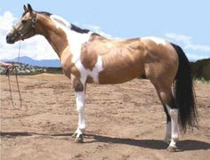 Tobiano Paint Stallion BUCKSKIN PAINT!!!! MY FAV COLOR!!!!!!!!!!!!!!!